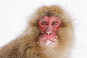 Snow Monkeys 2010